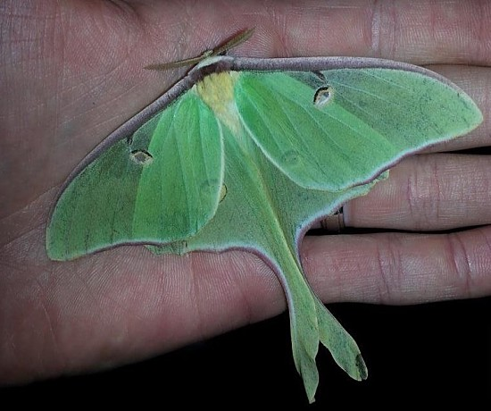 #6: Silk moths, such as this luna moth, were frequently spotted in 2016. Photo Credit: PJ Liesch, UW Insect Diagnostic Lab.