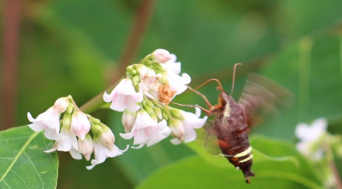 Sphinx Moths—Hovering at a Flower Near You