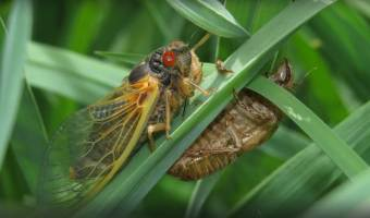 17-year Cicadas Set to Emerge en masse