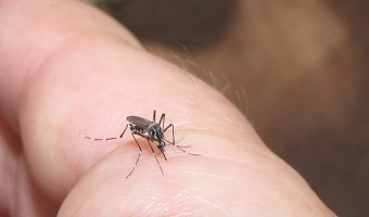 """Bugging"" Mosquitoes to Stop Dengue Fever & Other Diseases"