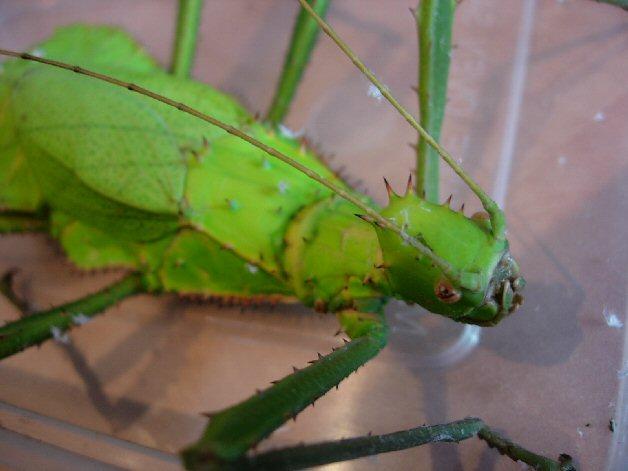 Jungle Nymph Stick Insect - Heteropteryx Dilatata