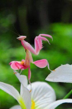 hymenopus coronatus orchid mantis