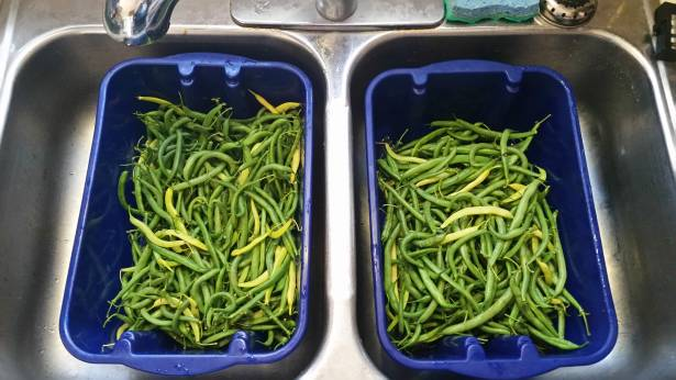 A good chunk of the beans that were harvested.