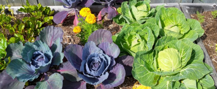 Garden update August 2019 - Green and red cabbages.