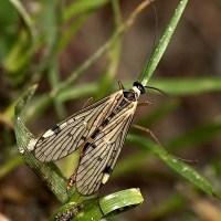 Panorpidae - Wojsiłkowate