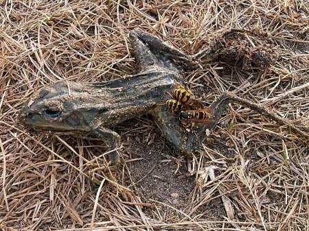 Przedbórz 04.08.2012 Truchło żaby jako zasobna spiżarnia