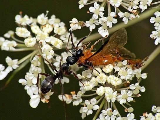 Lublinek 19.06.2012 Schwytana przez mrówkę