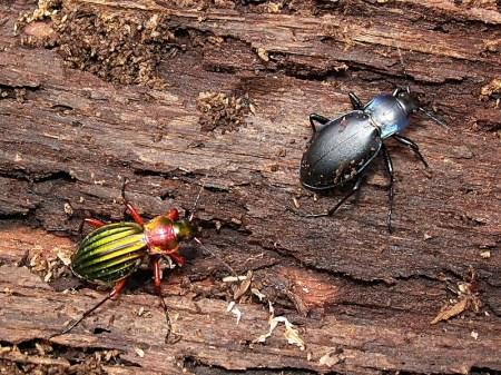 Rezerwat Gałków 12.03.2012 W towarzystwie Carabus auronitens