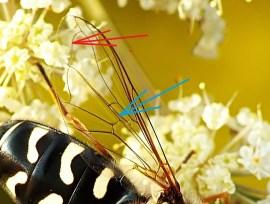 Niebieska strzałka wskazuje żyłkę pozorną, czerwona pozorne obrzeżenie
