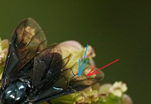 Niebieska strzałka wskazuje komórkę 2RS, czerwona - żyłkę 3 rm
