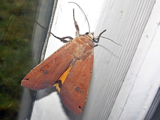 Lary 24.08.2008 Odrobinę widoczne żółte skrzydła tylne