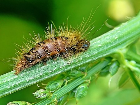 Niesułków 06.07.2012 Spasożytowana gąsienica czasem pęcznieje, co utrudnia rozpoznanie