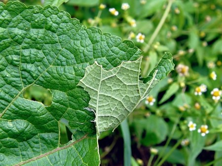 Widzew 28.08.2010 W zwiniętym fragmencie liścia ukrywa się gąsienica