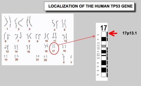 Źródło grafiki: http://p53.free.fr/p53_info/p53_gene.html