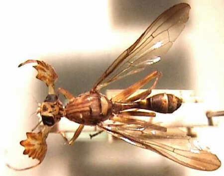 Phytalmia alcicornis Źródło: http://ecoport.org/ep?SearchType=pdb&PdbID=15711