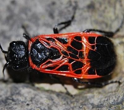 Caenolyda reticulata