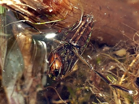 Las wiączyński 01.05.2012 Pluskolce pływają do góry brzuchem i w tej pozycji także polują