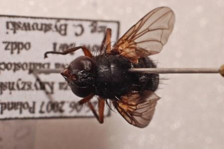 Samica - typowe dla gatunku jasne żółtobrązowe uda i golenie