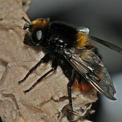 Mallota fuciformis