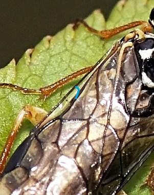 Przednie skrzydło - żyłka subkostalna ( subcosta vein ) nie dochodzi do krawędzi skrzydła (costa) - dodana przeze mnie niebieska żyłka symuluje przebieg żyłki subkostalnej w rodzaju Pamphilius