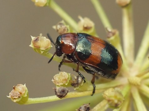 C.unifasciata