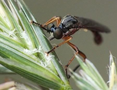 D.hyalipennis