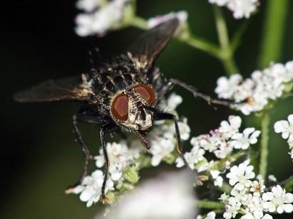E.anthophila