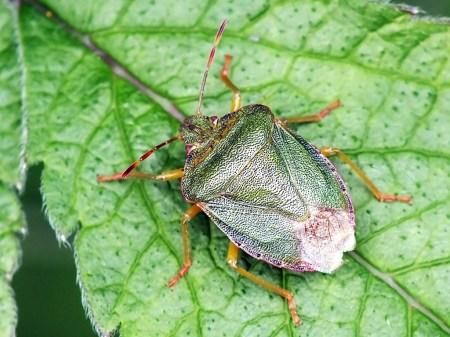 P.prasina