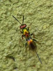 Torymidae sp.