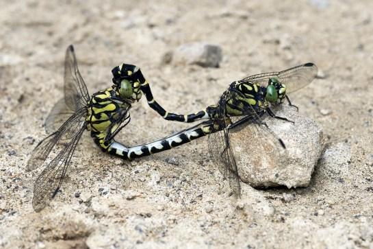 O.forcipatus mating
