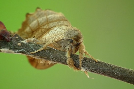 F.lacertinaria
