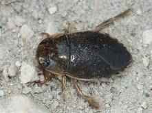 I.cimicoides