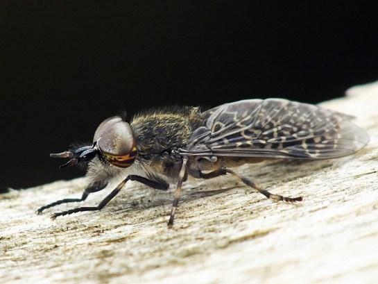 H.pluvialis