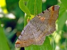 M. liturata