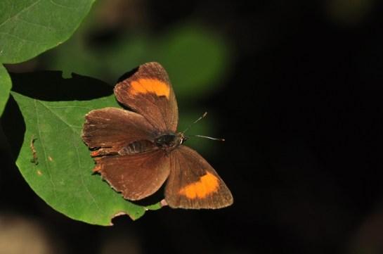 T.betulae