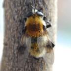 M.megilliformis
