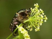 P.metallica