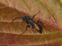 C.notatus female