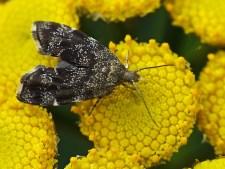 P.sehestediana.
