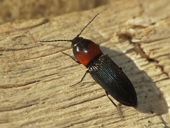 C. ruficollis