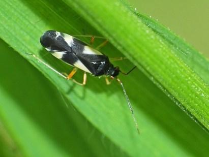 D.q-maculatus