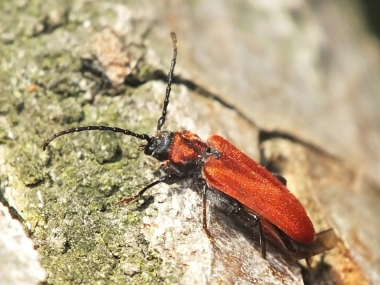 P.sanguineum