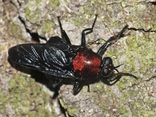 C.ephippium