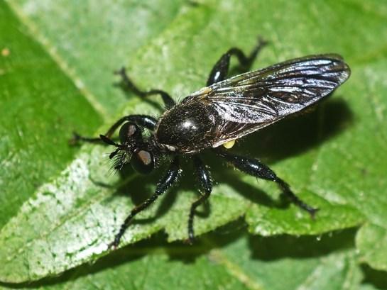 Ch. femorata