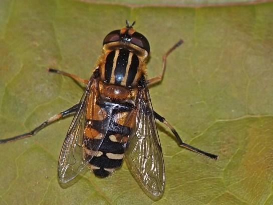 H.affinis.