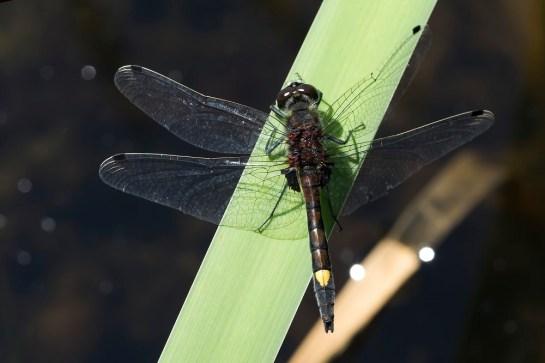L.pectoralis