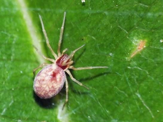 N.flavescens