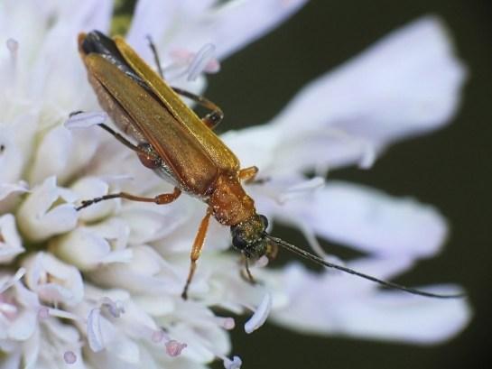 O.podagrariae
