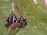 X.citrofasciatum