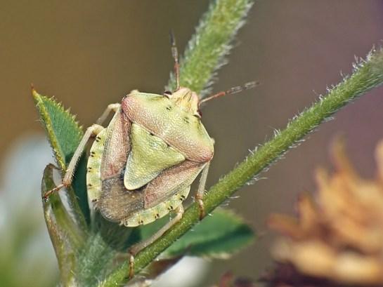 A.lunulata
